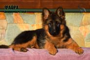 25_Puppies_JV_Nikita_FAJRA_LH