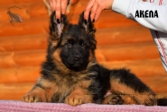 05_Puppies_Garry_AKELA_LH