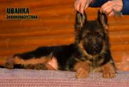 17_Puppies_Garry_Zambiya_IVANKA_LH