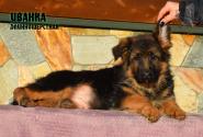 20_Puppies_Garry_Zambiya_IVANKA_LH