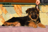 21_Puppies_Garry_Zambiya_IVANKA_LH