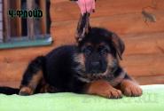 12_Puppies_Uragan_Udachnaya_CH-FLOJD