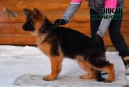 09_Puppies_Umaro_Cikuta_NISAN_LH