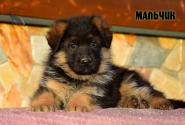 22_Puppies_Vargas_Viagra_BOY