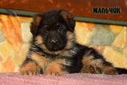 23_Puppies_Vargas_Viagra_BOY