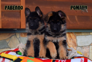 28_Puppies_Vargas_Viagra_RAVELLO_ROMANO