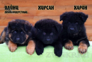 11_Puppies_King_Imidzha_HAJNC_HIRSAN_HARON_LH