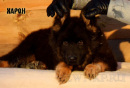 16_Puppies_King_Imidzha_HARON_LH