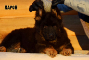 17_Puppies_King_Imidzha_HARON_LH