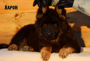 18_Puppies_King_Imidzha_HARON_LH