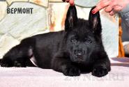 19_Puppies_Mike_Zebra_VERMONT_BL