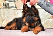 23_Puppies_Mike_Zebra_VAYK_LH