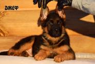 07_Puppies_Uragan_Kharby_DZHEF