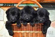 07_Puppies_Uragan_Yosha_GIRLS_BL