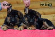 12_Puppies_Uragan_Yosha_YUSANA_YUNELTA
