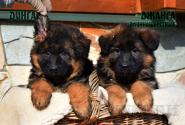 05_Puppies_Garry_Shveciya_DINGA_DZHANGA_LH