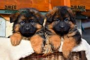 10_Puppies_Garry_Shveciya_DZHEJ_DZHANO_LH