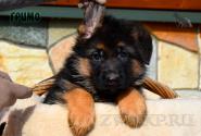 31_Puppies_Mike_Furiya_GRIMO