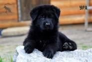 04_Puppies_Uragan_Tigris2_URA_BL