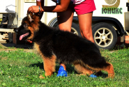 15_Puppies_Uragan_Bimaguchi_YUNIKS