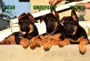 10_Puppies_Tamerlan_Elisabet_IMPERATOR_ITON_INDIGO