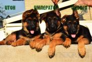 13_Puppies_Tamerlan_Elisabet_IMPERATOR_ITON_INDIGO