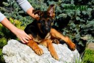 15_Puppies_Tamerlan_Elisabet_IMPERATOR