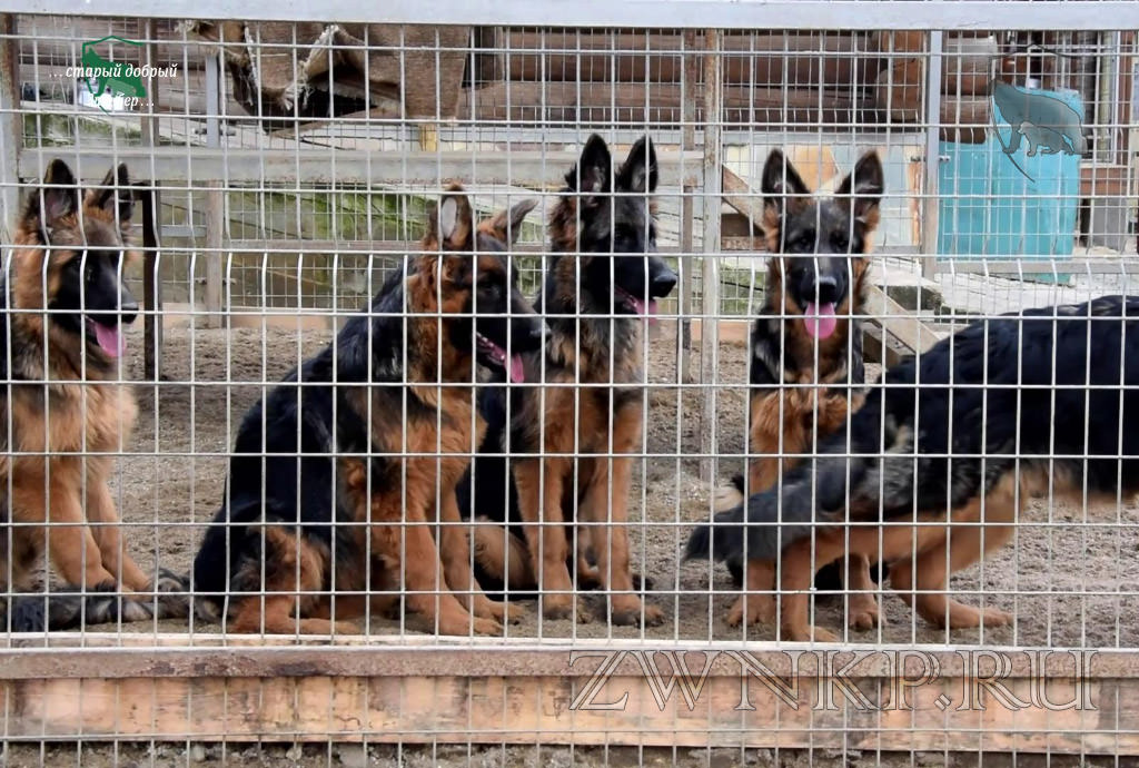 "New video of the German Shepherd Breeding Kennel ""Team Zilber Wasserfall"" - October 17-18, 2019"