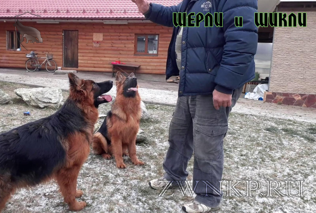 "New video of the German Shepherd Breeding Kennel ""Team Zilber Wasserfall"" - November 3-28, 2019"