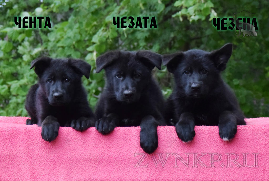 Puppies URAGAN and ALYASKA - CHENTA, CHEZATA and CHEZENA