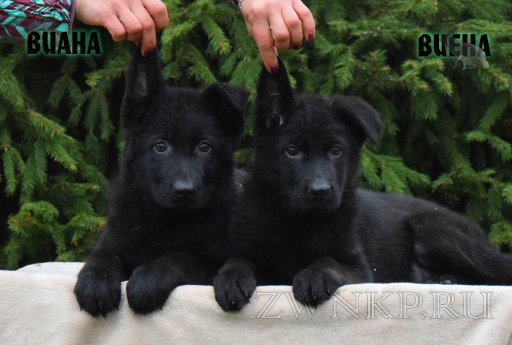 Puppies URAGAN and FLESHKA 2 - Girls VIANA and VIENA