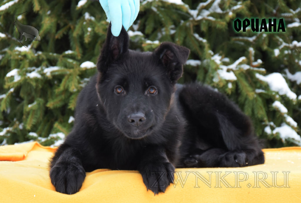 Puppies URAGAN and SHALLE - ORIANA