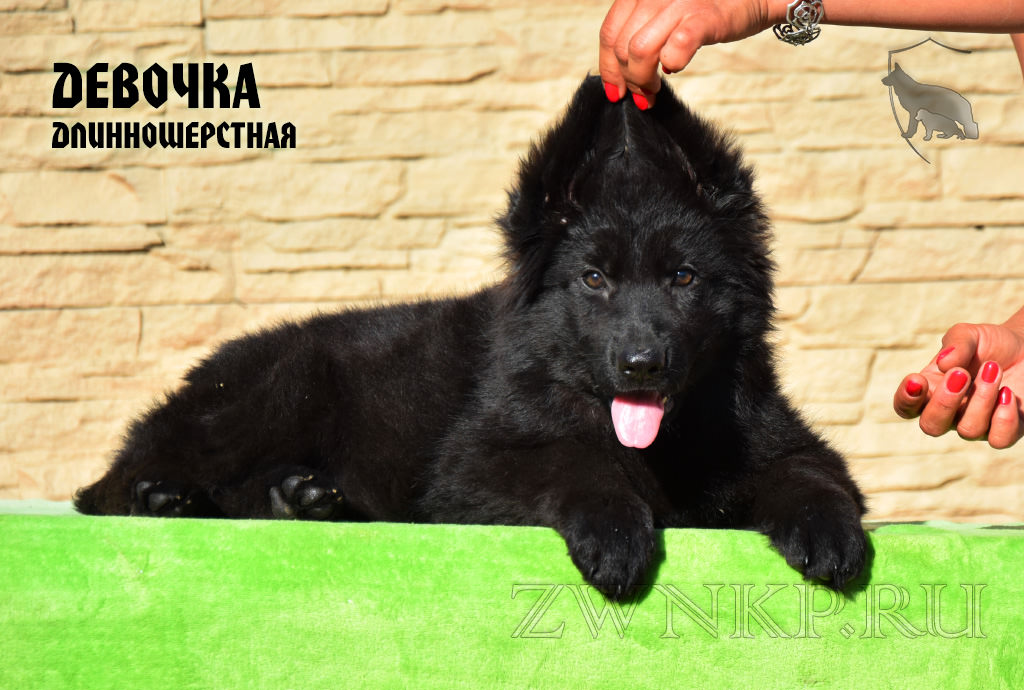 Puppies URAGAN and VALTERRA - Girl / LH /
